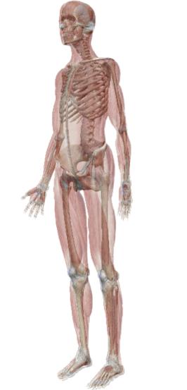 骨の仕事・筋肉の仕事